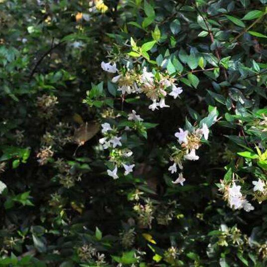 Abelia grand. 'Francis Mason' (= 'variegata')