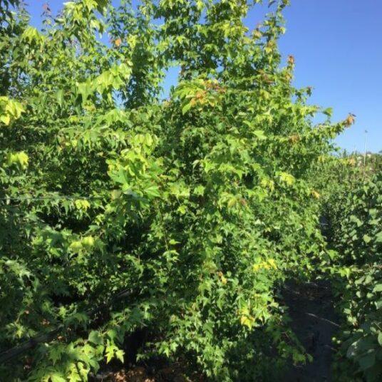 Acer buergerianum (= trifidum)