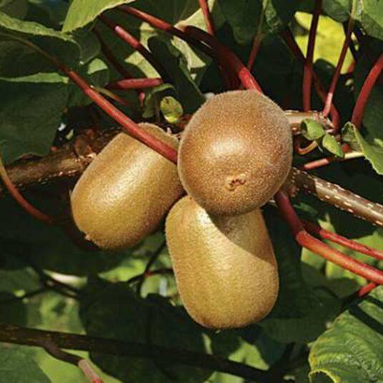 Actinidia deliciosa 'Golden Kiwi'®