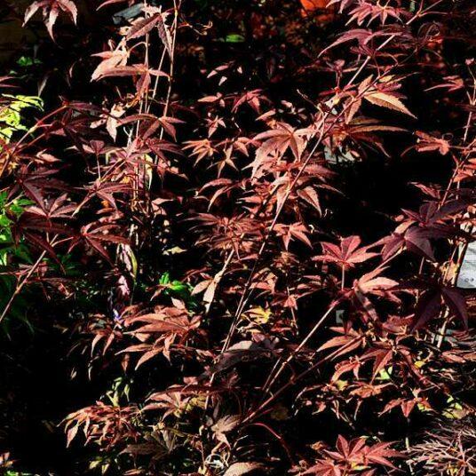 Acer palm. 'Atropurpureum'