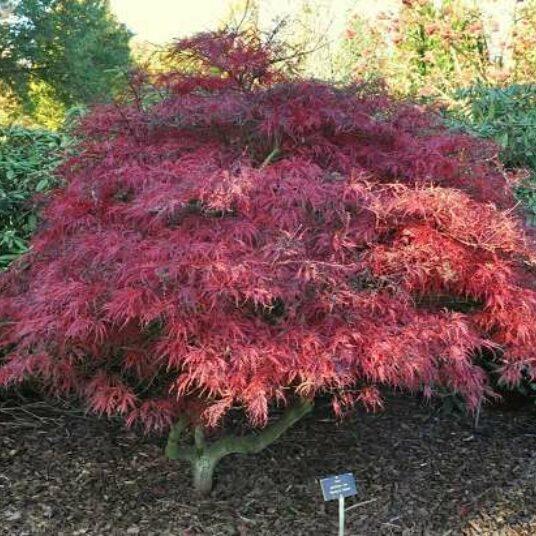 Acer palm. 'Garnet' (='dissect. garnet')