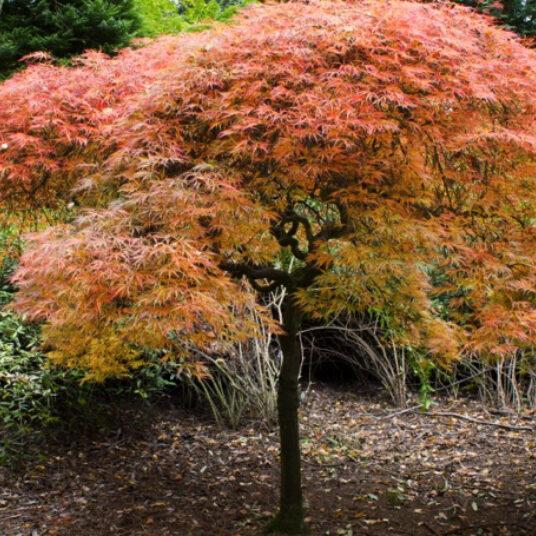 Acer palm. 'Ornatum' (='diss atrop./diss ornatum')