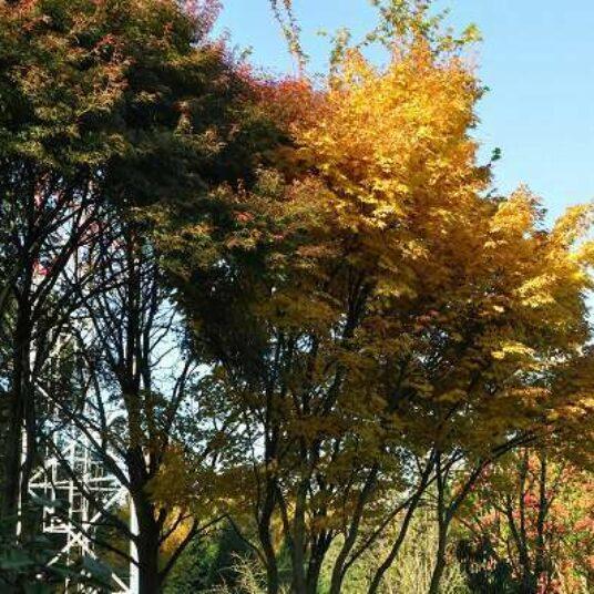 Acer palm. 'Sangokaku' (='senkaki')