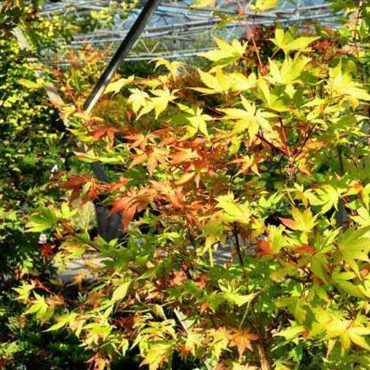 Acer palm. 'Summer Gold'