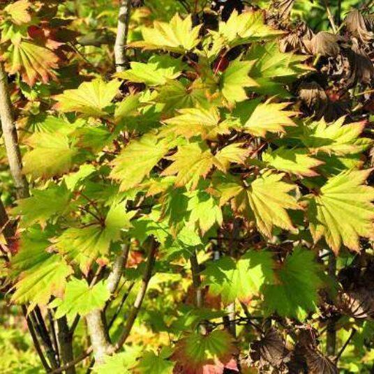 Acer shir. 'Aureum' (=jap. 'aureum')