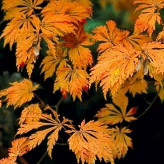 Acer jap. 'Aconitifolium'