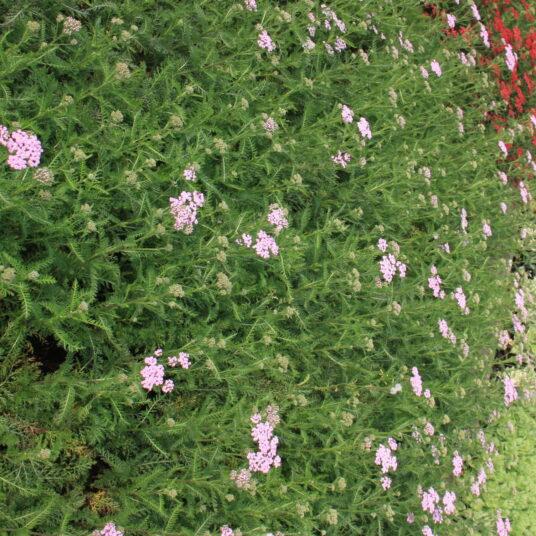 Achillea mil. 'Lilac Beauty'