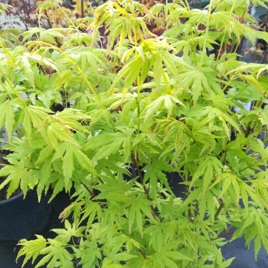 Acer palm. 'Going Green'®
