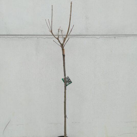 Acer pseudoplatanus 'Hermitage'®
