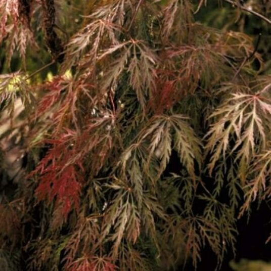 Acer palm. 'Inaba Shidare'