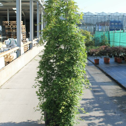 Acer palm. 'Ryusen'®
