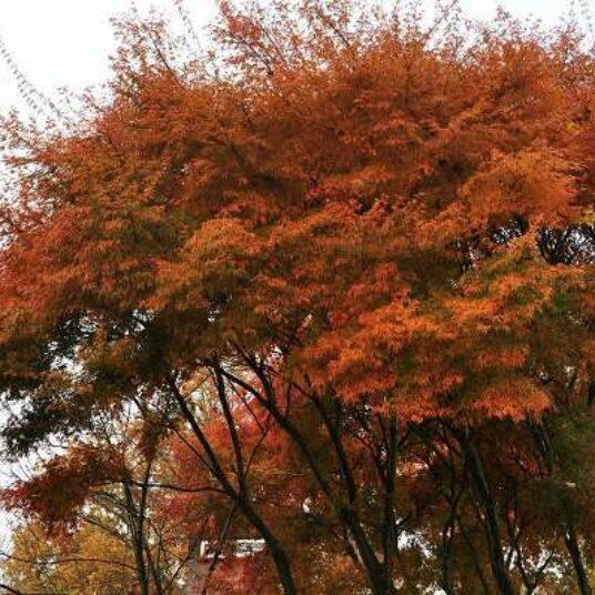 Acer palm. 'Seiryu'