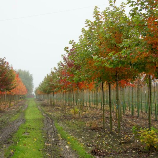 Acer rubr. 'October Glory'