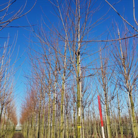 Acer saccharinum 'Laciniatum Wieri'