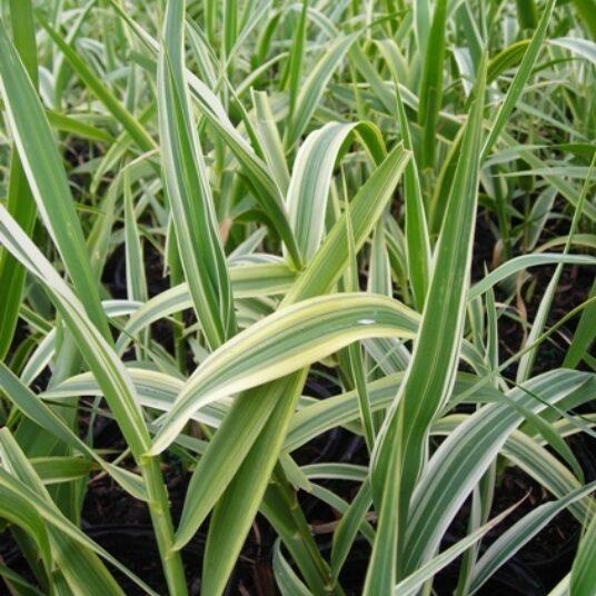 Arundo donax 'Versicolor' (='variegata')