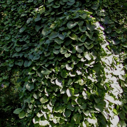 Aristolochia macrophylla (= durior)