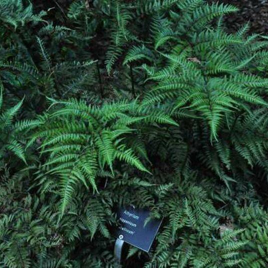 Athyrium niponicum 'Metallicum' (= 'pictum')