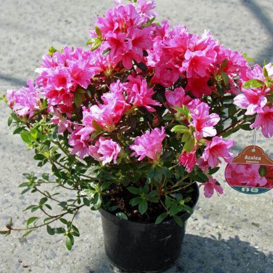 Azalea jap. roze - rose