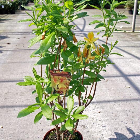 Azalea knaphill geel - jaune