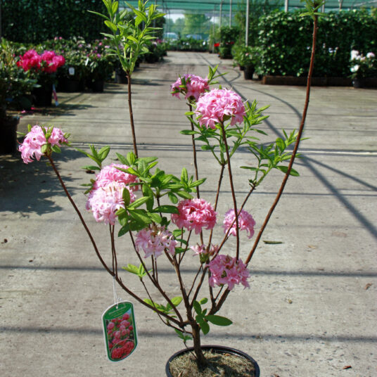 Azalea knaphill roze - rose