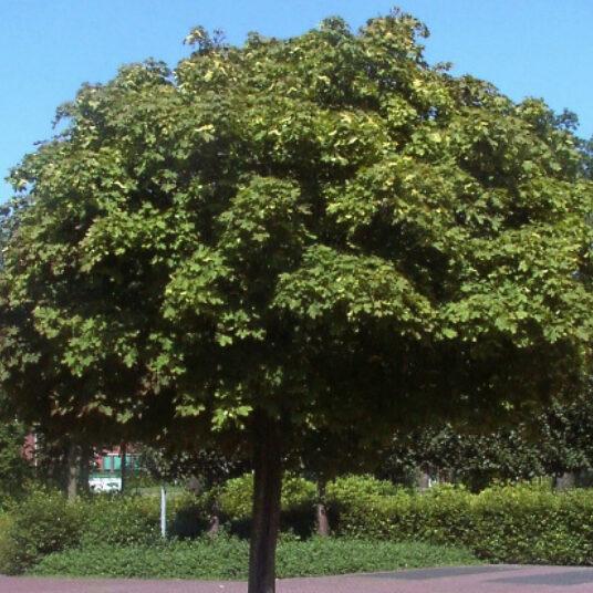 Acer plat. 'Globosum'