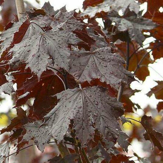 Acer plat. 'Crimson King' (= 'schwedl. nigrum')