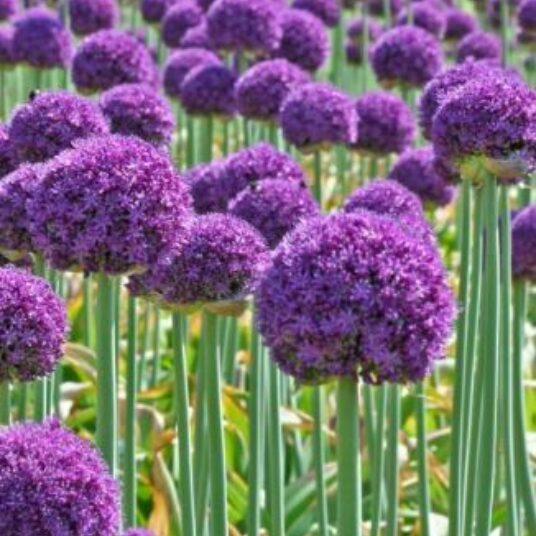 Allium hybr. 'Ambassador'