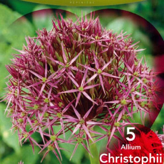 Allium christophii (= albopilosum)