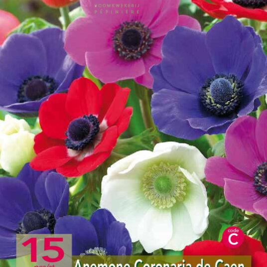 Anemone hybr. 'De Caen' mix