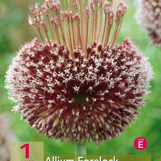 Allium hybr. 'Forelock'