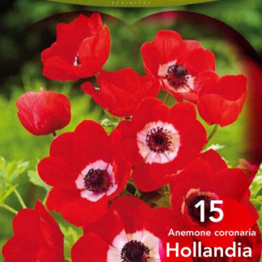 Anemone hybr. 'Hollandia'