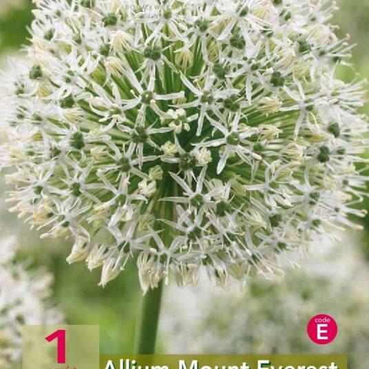 Allium hybr. 'Mount Everest'