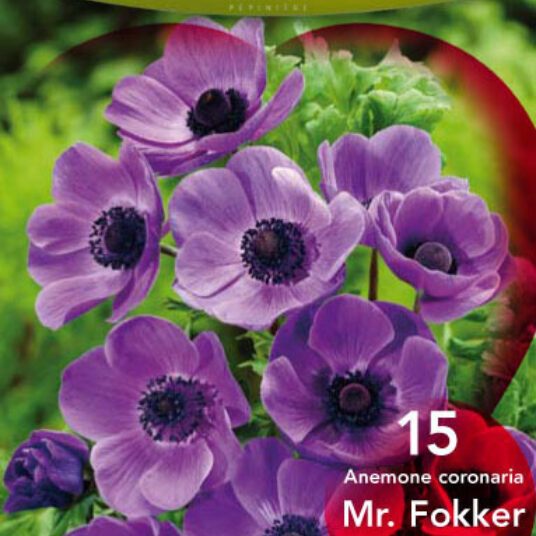 Anemone hybr. 'Mr. Fokker'
