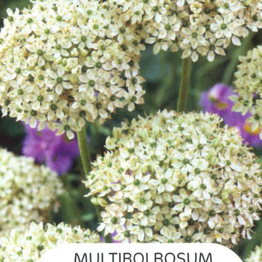 Allium nigrum (= multibulbosum)