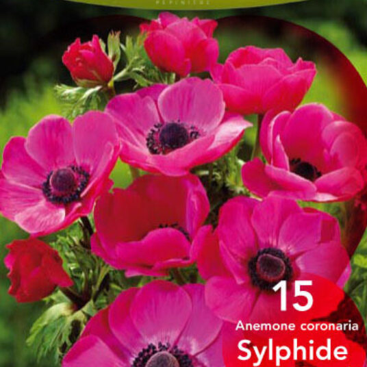 Anemone hybr. 'Sylphide'