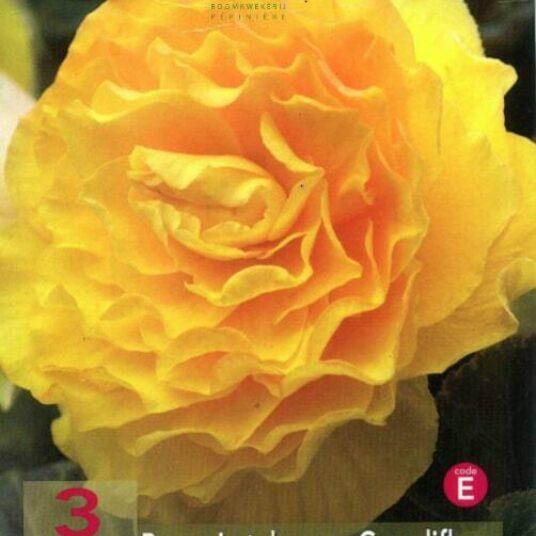 Begonia dubbel geel/jaune