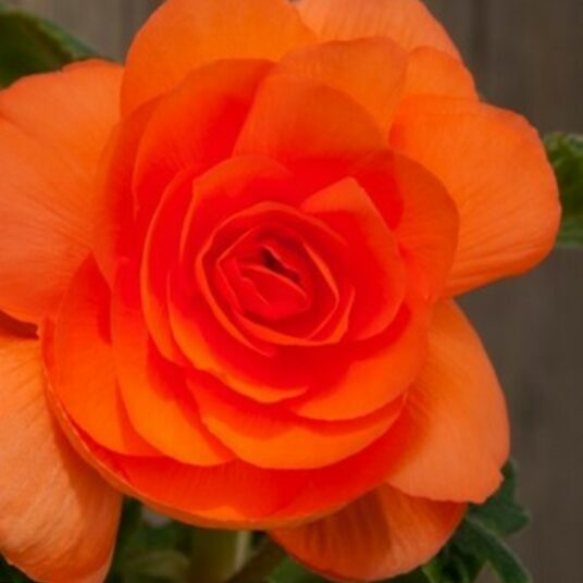 Begonia dubbel oranje/orange