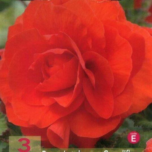 Begonia dubbel rood/rouge