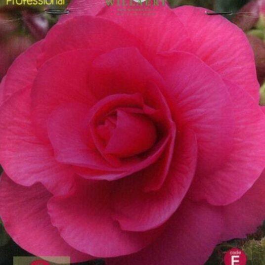Begonia dubbel roze/rose