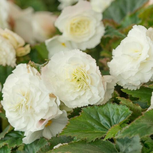 Begonia dubbel wit/blanc