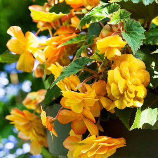 Begonia pendula geel/jaune