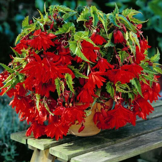 Begonia pendula rood/rouge