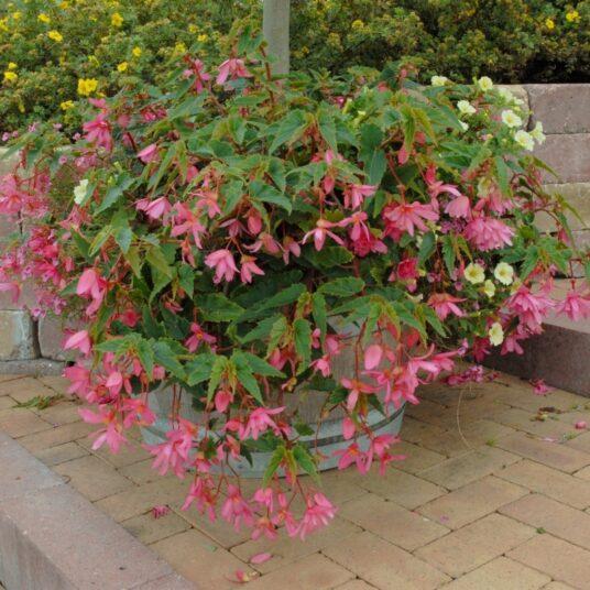 Begonia pendula roze/rose