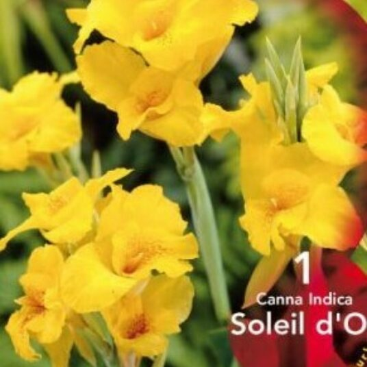 Canna 'Soleil d'or'