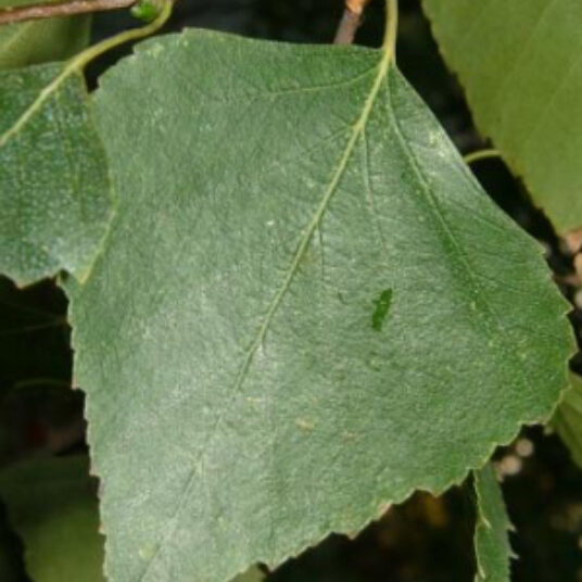 Betula pendula (=alba/verrucosa)