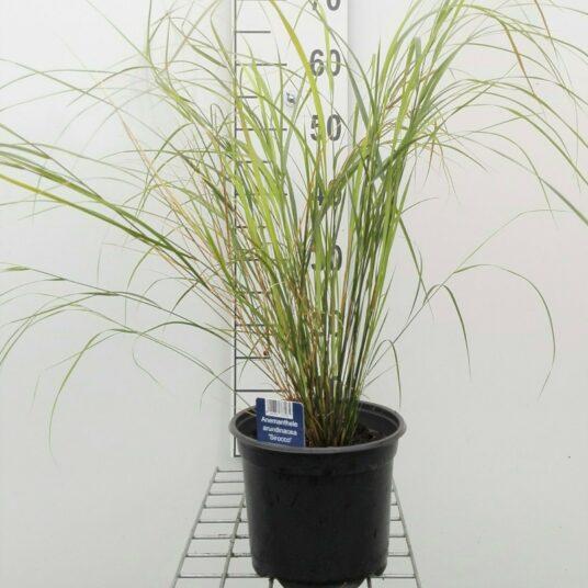 Calamagrostis arundinacea (=anemanthele/stipa ar)
