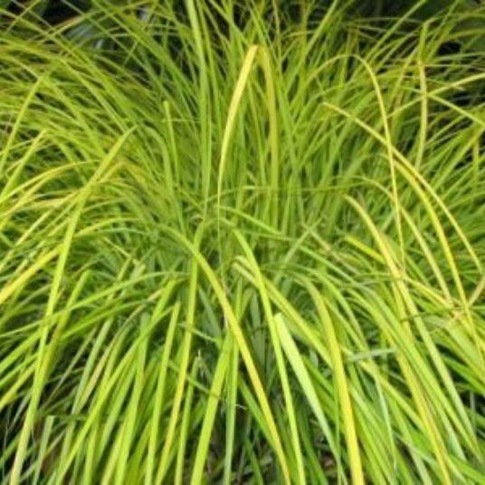 Carex elata 'Aurea' (='bowles golden')