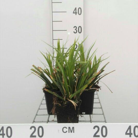Carex morr. 'Mosten'