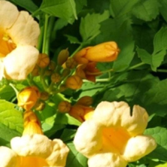 Campsis rad. 'Flava' (= 'yellow trumpet')