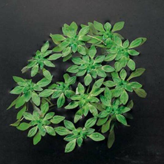 Callitriche verna (= palustris)